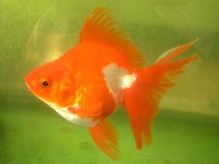 03 橙果的金鱼被起诉